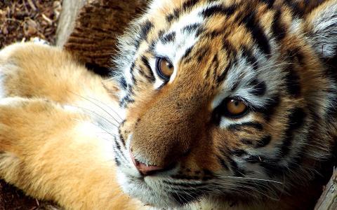 捕食者,头,老虎,颜色,小胡子,枪口,老虎,猫科动物,眼睛,条纹