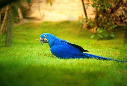 鹦鹉,蓝色,草,鸟
