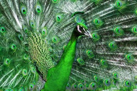 孔雀,鸟,尾巴,羽毛,美丽,绿色