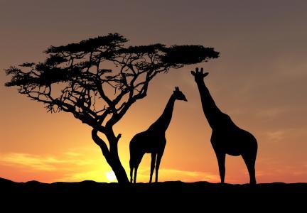 树,照片,非洲,野生动物,太阳,天空,动物,晚上,长颈鹿,日落
