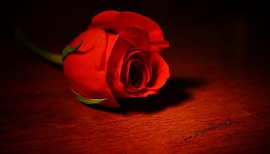 花,一朵,玫瑰,女王花,红色,珊瑚,颜色