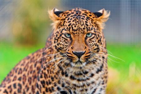 壁纸,动物,豹,看