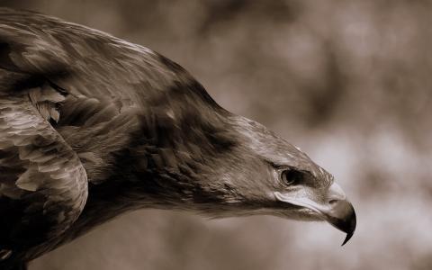 鹰,喙,羽毛