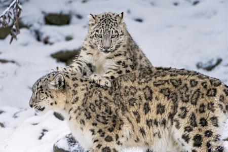 雪豹,雪豹,大猫,家庭,小猫,冬天,雪