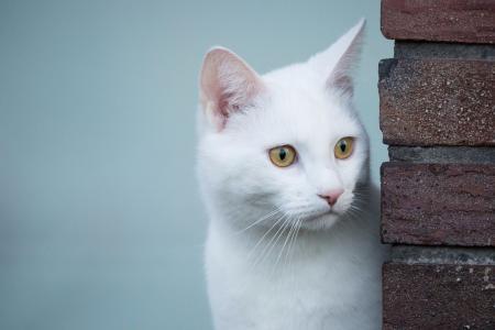 白色,猫,可爱,小猫