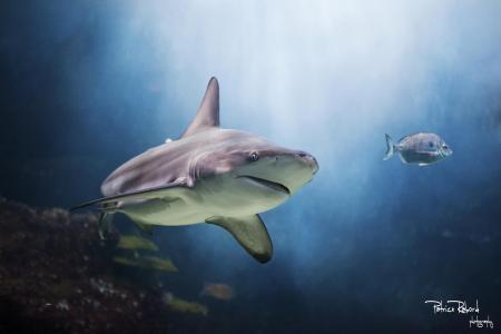 鲨鱼,水,捕食者,鱼
