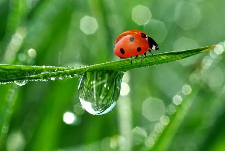 性质,瓢虫,小兵,滴,露水,反射