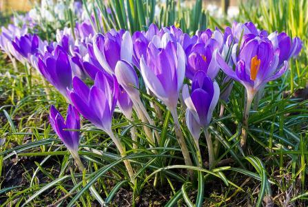 番红花,鲜花,美丽,紫罗兰