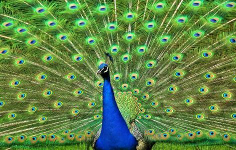 尾巴,羽毛,孔雀,鸟