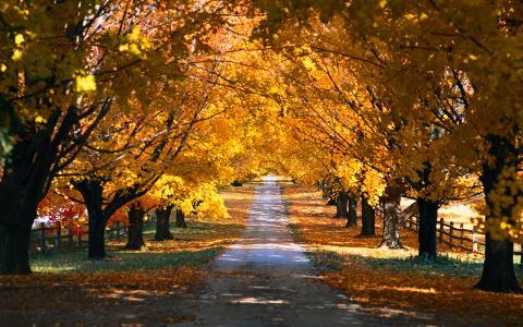 金色的秋天,胡同,树木,行列,美景