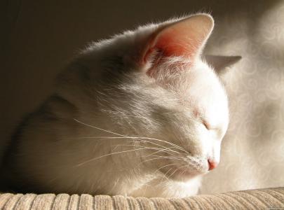 睡着了,可爱,猫,白色