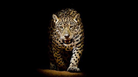 豹,豹,动物