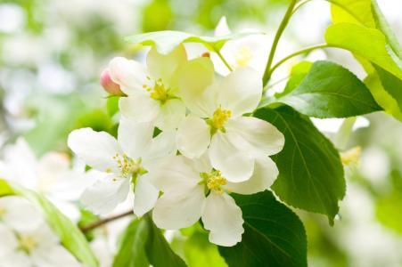 樱桃,花瓣,科,鲜花,白,春天,开花