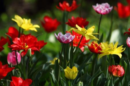 自然,春天,鲜花,郁金香