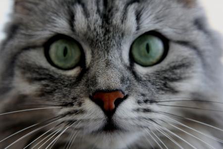 动物,猫,眼睛