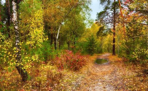 秋天,树木,森林,摄影师,迈克尔谢尔曼,秋天的树林,桦树,松树,秋叶,路,水坑