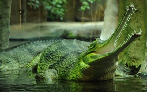 鳄鱼,捕食者,动物,嘴里,绿色