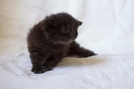 猫,猫,猫,小猫,coteyka,可爱,小,巧克力,毛茸茸的,重要的