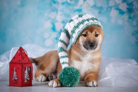 动物,狗,狗,帽子,帽子,灯笼,布