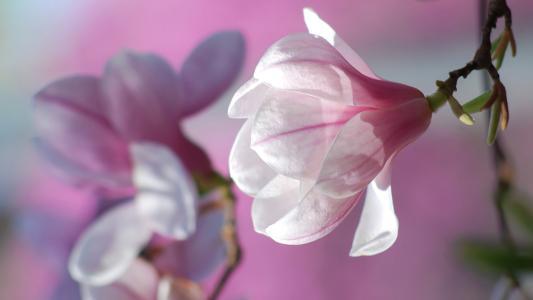 分支,鲜花,宏,玉兰,春天