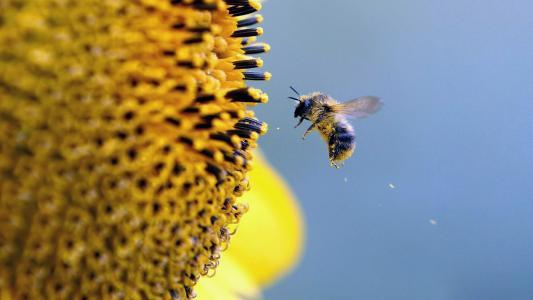 性质,宏,照片,蜜蜂,花粉,向日葵