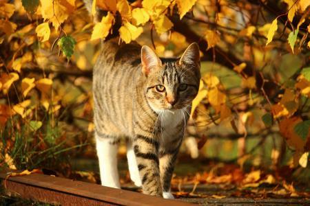 猫,条纹,走,秋天,黄叶