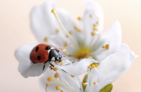 动物,瓢虫,花,瓢虫,瓢虫