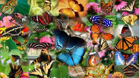 拼贴画,蝴蝶,昆虫,蝴蝶