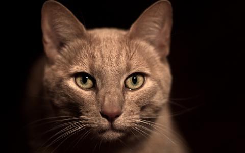 米色,鼻子,猫,脸,绿色的眼睛,宏,胡子