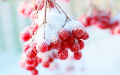 rowanberry,白霜,美丽