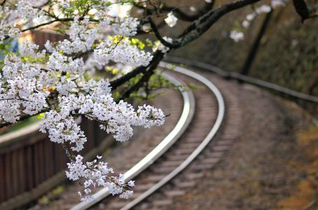 树,铁路,樱花,鲜花,日本,分支机构