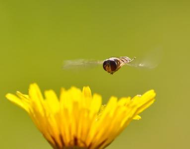 蜜蜂,宏,夏天,太阳
