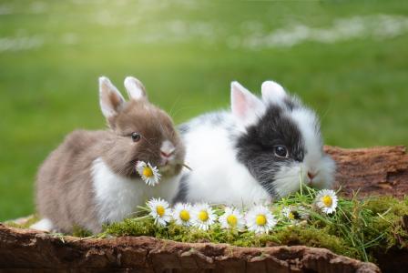动物,兔子,自然,草,花,chamomiles