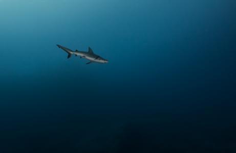 海,深度,,蓝,鲨鱼,孤独,狩猎,捕食者