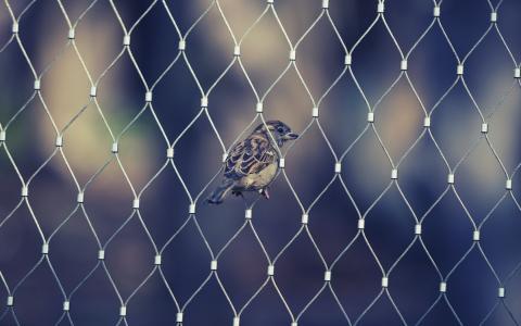 翅膀,动物,鸟,喙,麻雀