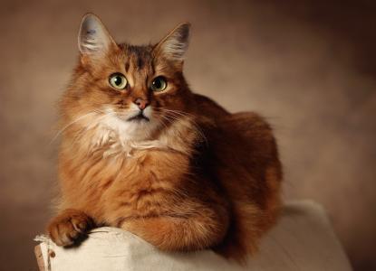 猫,红色,背景,谎言,眼睛
