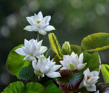 花,叶子,莲花,散景