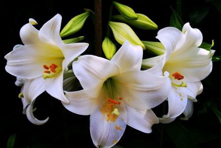 百合花,白色,背景,黑暗