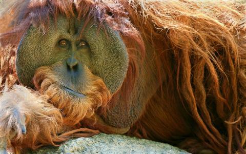 猴子,猩猩,视线,羊毛