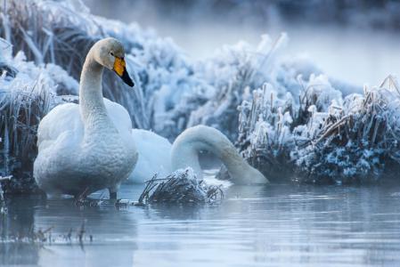 鸟,世界鸟类,天鹅,夫妇,池塘,冬天,分支机构
