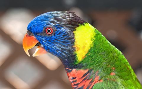 鸟,颜色,鹦鹉