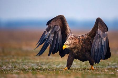 鸟,鹰,翅膀,步骤