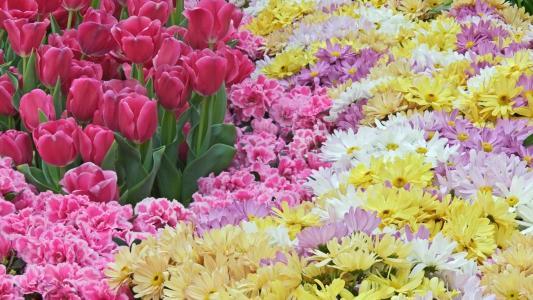 春天,菊花,许多,鲜花,粉红色,郁金香