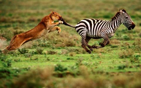性质,狩猎,母狮,捕食者,速度,敏捷,权力,追求,斑马,食品,宏,照片