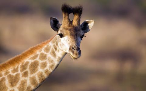 长颈鹿,非洲