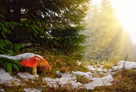 性质,秋季,森林,树木,云杉,枞树,蘑菇,飞行琼脂,草,雪,光线