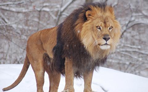 狮子,雪,冬天