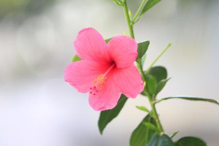 鲜艳动人的朱槿花
