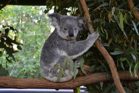考拉,树枝,树叶,桉树,澳大利亚