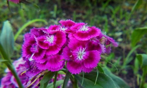 花,康乃馨,夏天